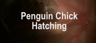 Penguin Chick Hatching